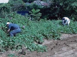 さつまいも畑の草刈り