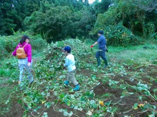 畑一面に広がったサツマイモのつるを取り除く作業